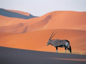 Oryx Antelope
